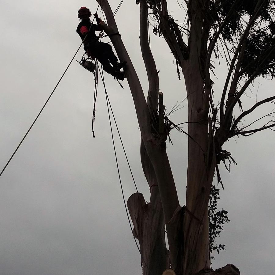 ¿Cómo se debe realizar la poda de árboles mayores?
