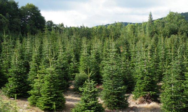 Los árboles más frecuentes en España-1