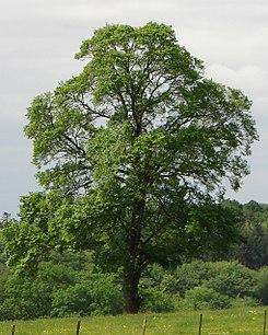 Árboles más frecuentes en España