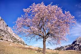 arboles-mas-frecuentes-en-espana-prunus