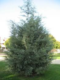 Los árboles más frecuentes en España-Ciprés de Arizona